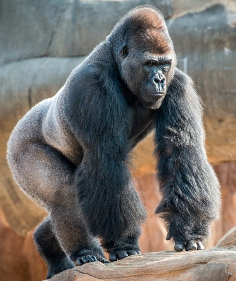 Houston-Zoo-Gorilla-Virtual-Tour
