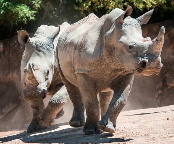 Houston-Zoo-Rhino-Yard-Virtual-Tour