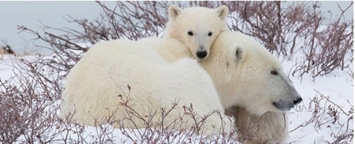 Polar-Bears-International-and-Discovery-Education