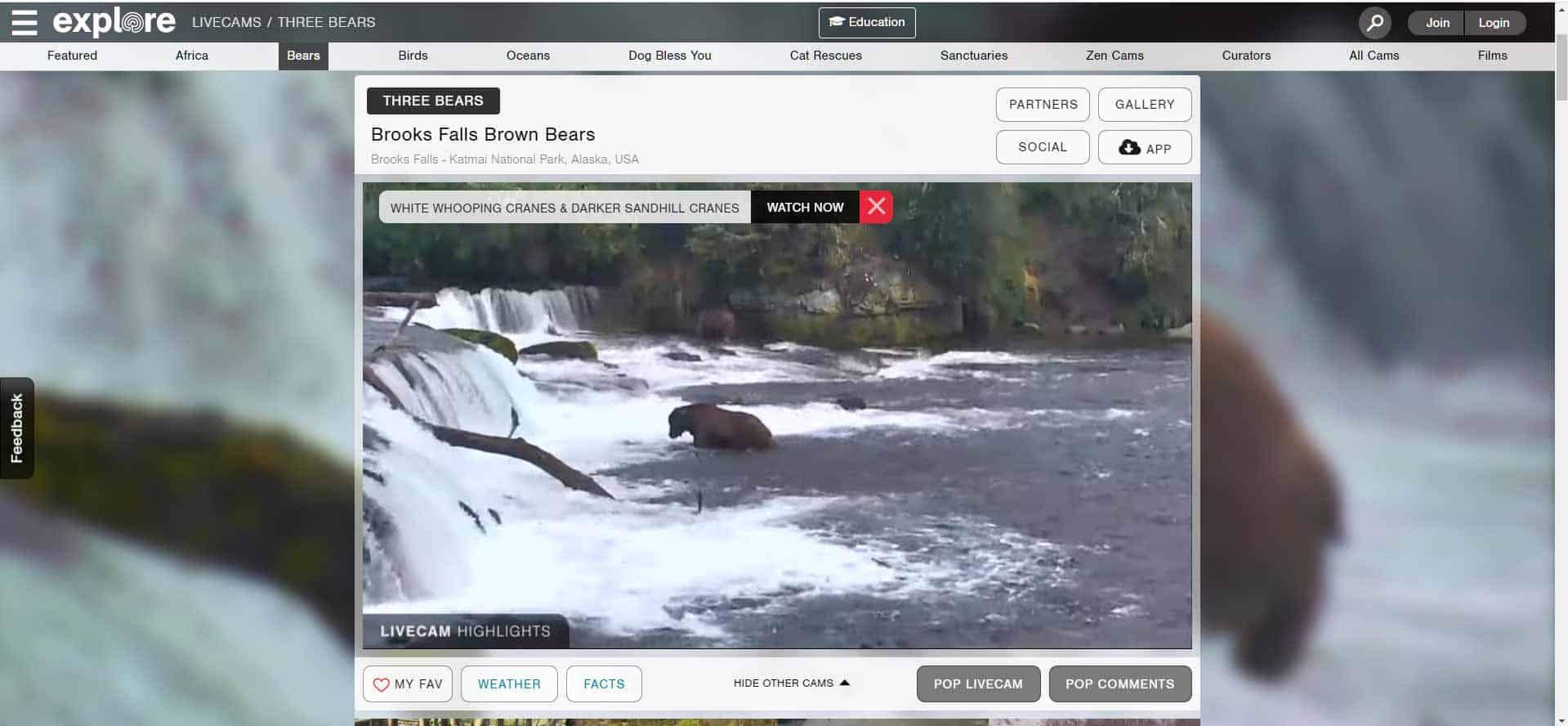 bears-in-a-river-getting-trout