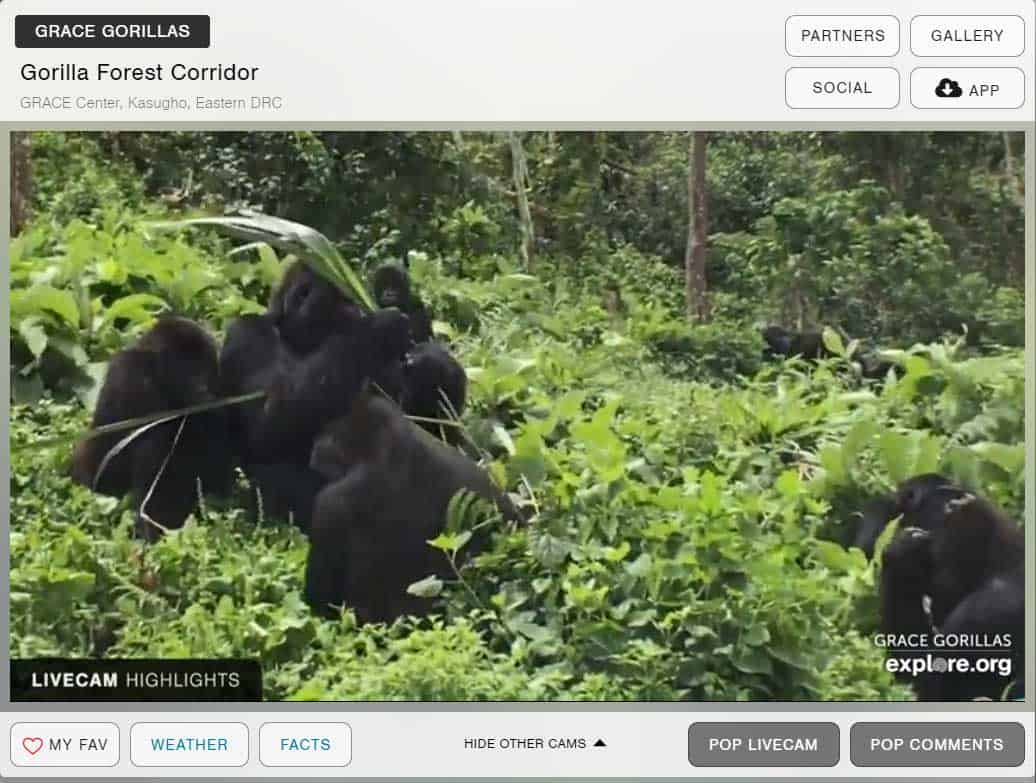 gorillas-on-webcam-for-remote-learning