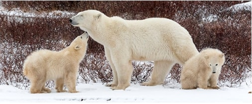 polar-bears-arctic-animals-Discovery-Education