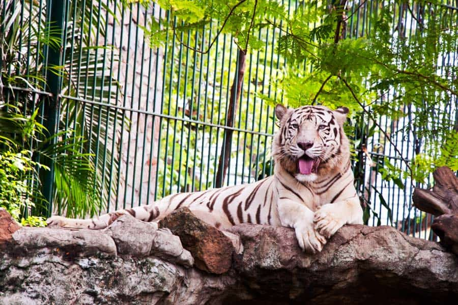 tiger in zoo during school field trip